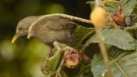 Female blackbird eating loquat fruits video