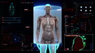 Female body scanning  human muscle, blood system in digital display. video