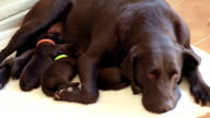 female brown labrador and her cute puppies video