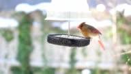 Female Cardinal in Winter at Bird Feeder video