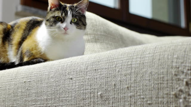 Female cat sitting on scratched sofa video