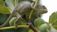 female chameleon pregnant by fig branch video