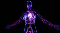Female Circulatory System video