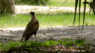 Female Crested Caracara on the Ground Looking Around video