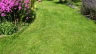 female cut green meadow with lawn mower in flower garden. video