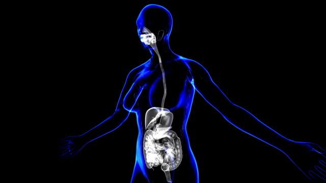 Female Digestive System video