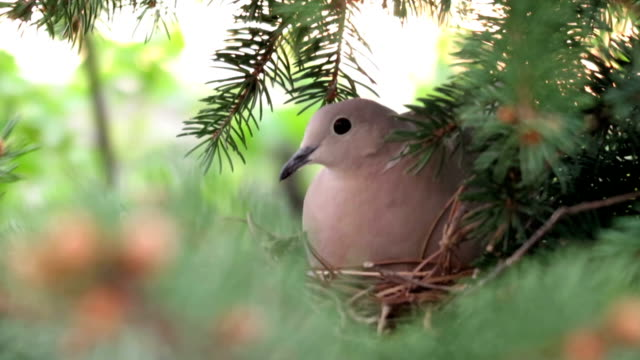 Female Dove in Nest video