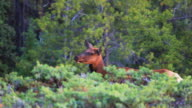 Female elk grazing video