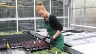 Female farmer examining saplings in greenhouse video