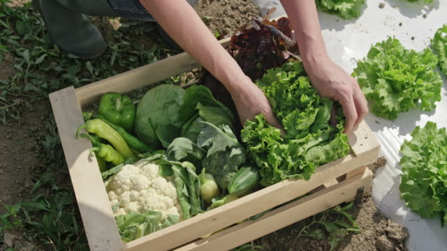 Female farmer filling a wooden crate with vegetables video
