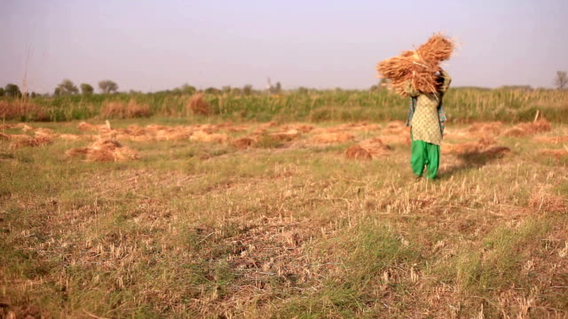 Female farmer working in the field during wheat harvesting video