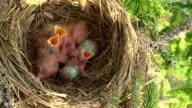 Female Fieldfare (Turdus pilaris) Feeding the Chicks video