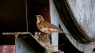 Female Fieldfare on the nest video