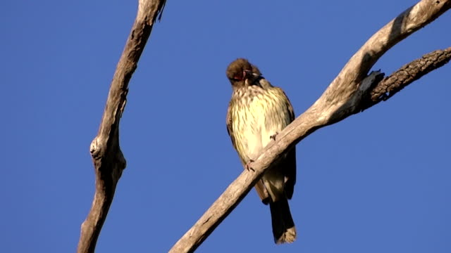 Female figbird jumping video