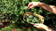 female gardener herbalist hand with blue nails pick balm lemon-balm mint herbal plant leaves video