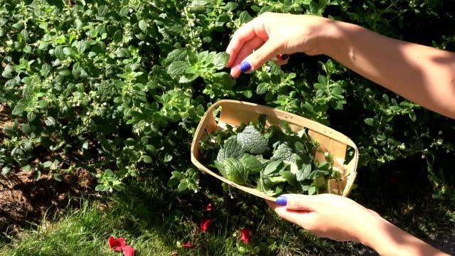 female gardener herbalist hand with blue nails pick balm lemon-balm mint herbal plant leaves video