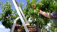 Female gardener reaping crop of peaches in the orchard video