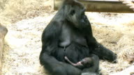 female gorilla and her infant video