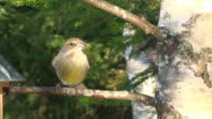 Female Greenfinch on the Branch video