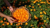female hand gather marigold blossom in wicker plate garden. video