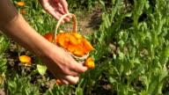 female hand pick medicine marigold in wicker retro basket video