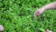 Female hand picking parsley outdoors video
