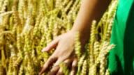 Female hand touching ripe wheat video