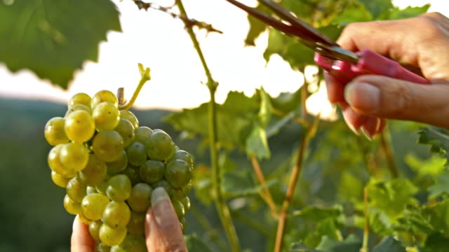 SLO MO Female hands cutting grape cluster at sunset video