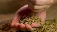 Female hands holding select organic rye grain, showing good quality of harvest video