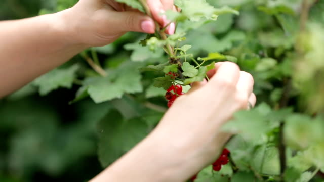 Female hands picking currant berries with twigs in summer, close-up video