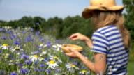 female herbalist pick daisy flowers between cornflower in summer field video