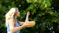 female herbalist pick linden blooms herbs from tree branches. video