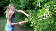 female herbalist pick linden flowers for herbal medicine. FullHD video