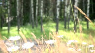 Female hiker strokes daisies in forest video