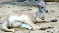 Female Kangaroo video