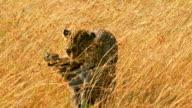 Female leopard in Masai Mara video