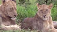 Female Lion in the bush video
