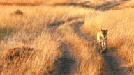 Female lion n Masai Mara video