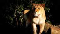 Female Lion Rests On Log In Evening Sun video