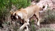 Female Lion Walking video