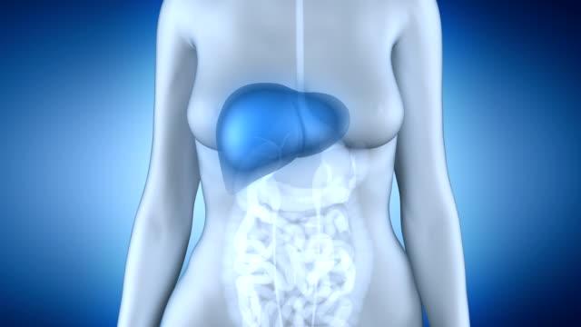 Female liver anatomy in loop video