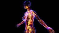Female Lymphatic System video