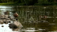female mallard duck with ducklings swimming in the river. Anas platyrhynchos video
