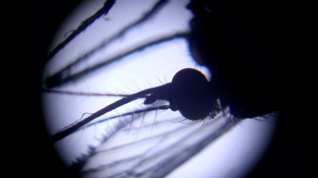 female mosquito under microscope video