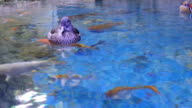 Female Of Mandarin Duck (Aix galericulata) video