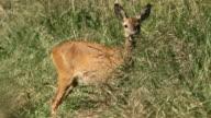 Female of roe deer video