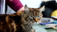 Female pet groomer petting scared Maine Coon cat. People taking care of animals video