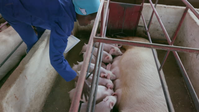 Female pig farmer using a tablet to monitor progress of pigs on an industrial pig farm video