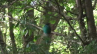 Female Quetzal in the Rain Forest video