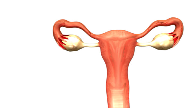 Female reproductive system video